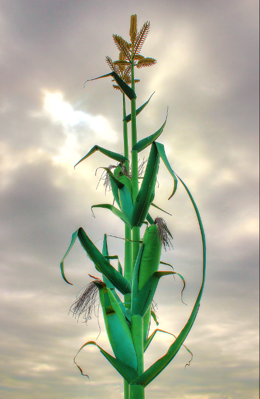 GiantCornStalk